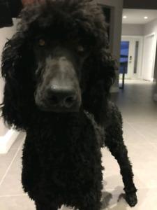 CKC Reg'd Standard Poodle