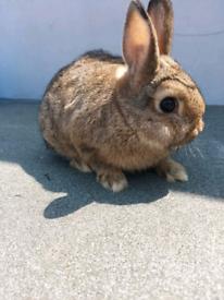 Pure netherlands dwarf rabbits