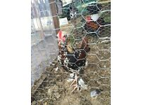 Pekin x Faverolle rooster (free to good home)