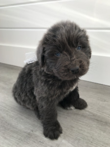 4 adorable Newfie (Newfoundland) puppies for sale