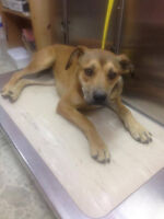 Oakley is a 1 year old, female, shep mix.