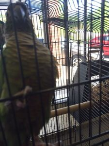 Parrot for sale with cage.