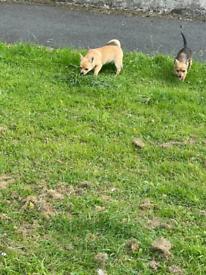 chihuahua x pups
