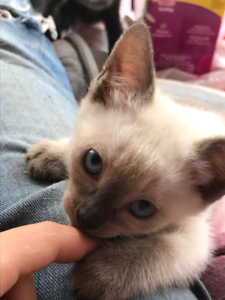TonkyRag and Siamese x kittens for sale