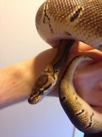 9 month Pinstripe Ball Python (very low-maitnance)