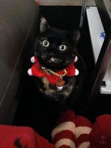 LOST BLACK/BROWN TORTOISE SHELL CAT IN MCCONACHIE