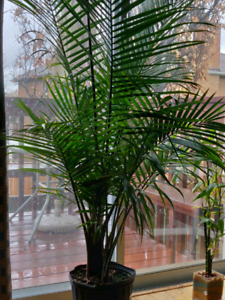Beautiful Palm tree / Indoor plant ( Real plant )