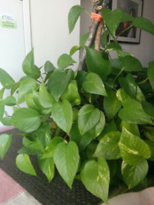 Moving Sale! 4 Beautiful, Real Indoor House Plants for Sale