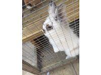 Male lion head rabbit needs new home ASAP