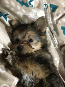 Teacup/Tiny Toy, Teddy Bear Faced Yorkie Girl - Ready Oct. 26th!
