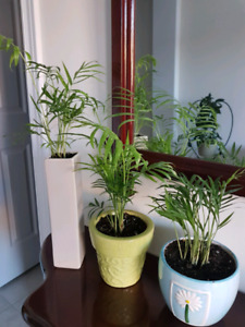 $10 each real air purifying plants Parlor palms in pretty pots