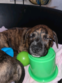 Staffie/ Lab mix Puppies for sale, available now. Bangor.