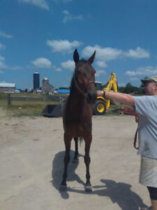 3 yr old standardbred filly 25 % available