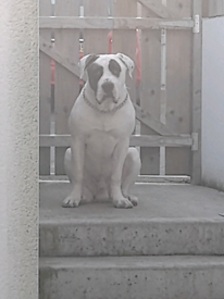American Bulldog 8 months old