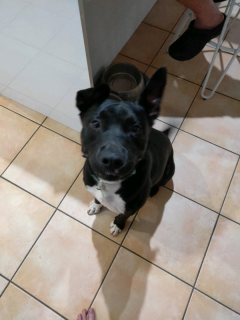 Free Staffy to good home | Dogs & Puppies | Gumtree Australia Pine
