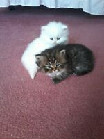 One cottenelle kitten left!( persian)