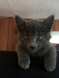 TICA registered Savannah Kitten - only 1 left