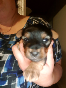 Christmas yorkie pups (only 1 available)
