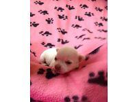 Chihuahua puppy's