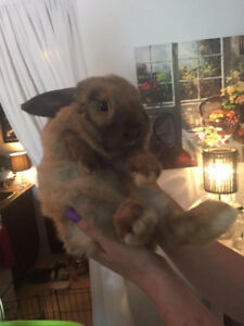 Holland Lop Bunny - fully litter trained