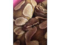 Female lesser royal Python & others