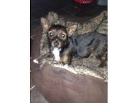 6month old puppy jacawawa chihuahua x jack