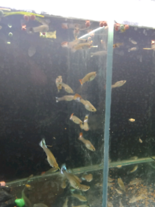 Assorted Fancy Tail Guppies Nathan Brisbane South West Preview