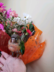 BB conure a joues vertes yellowside  FEMELLE