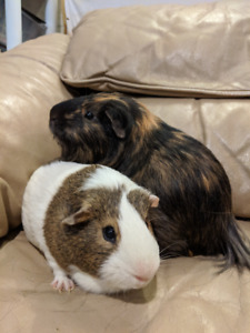 2 Male Guinea Pigs w/ Everything