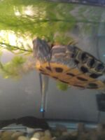 red slider turtle with 55gl tank Bow faced /stand /accessaries