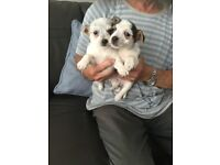 Jack Russell Pups For Sale 8 Weeks Can Deliver