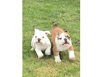 KC Registered English Bulldogs