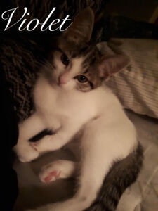 Violet (Infinity Haven Cat and Kitten Rescue)