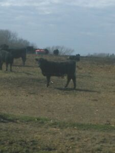 Quality simmental/angus replacement heifers