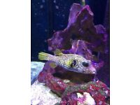 Dogface puffer fish for sale