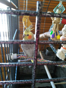 Two cockatiels and cage.