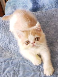 FANTASTIC Exotic Persian kitten!