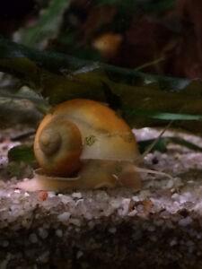 Escargot Pomme (Pomacea bridgesii) plusieurs couleurs