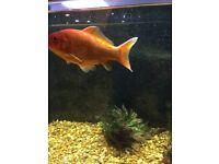 3 large gold fish free