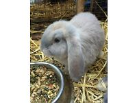 Baby Giant French Lop Rabbit