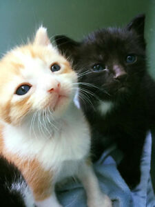 2 MALE RUSSIAN WHITE / COLICO KITTENS READY FOR REHOMING