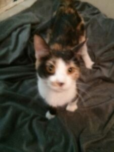 2 beautiful female calico cats for sale Cornwall Ontario image 1
