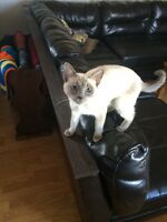 Young Siamese female for sale
