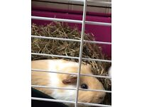 Two beautiful guinea pigs for sale with accessories