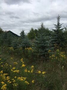 5 varieties of spruces at wholesale prices