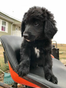 F1 Cross Bernedoodle Puppies - Ready to go now