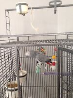 Three year old African grey