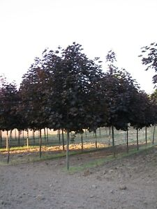 Trees for Landscapers --  Crimson King Maple Trees