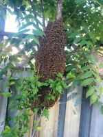 Free -Honey Bee Swarm Removal