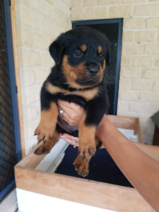 Pure bred WORKING LINE ROTTWEILERS!